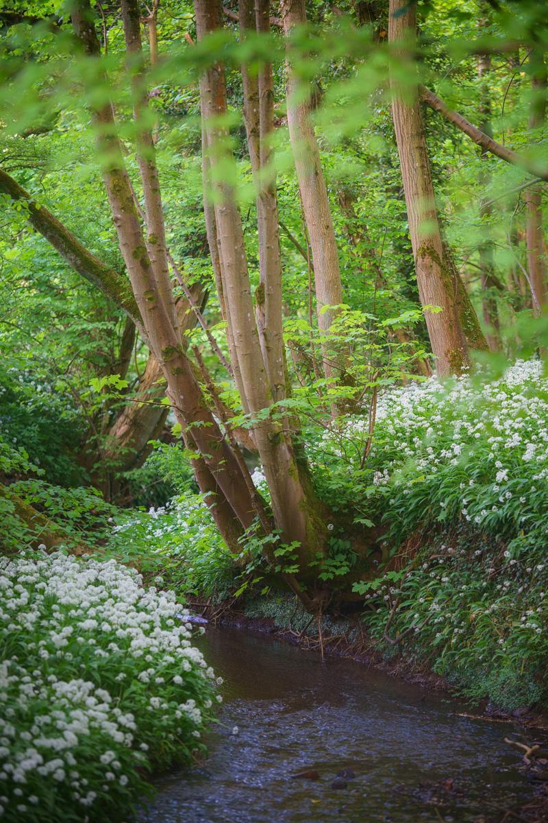 Wild Garlic by the stream