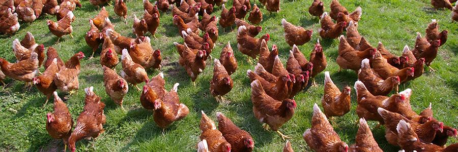 ....  Specialists in optimising free range egg production  ..  Yn arbenigo mewn cael y gorau wrth gynhyrchu wyau maes  ....