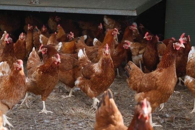hfandp_feed_pullet_suppliers_6.JPG
