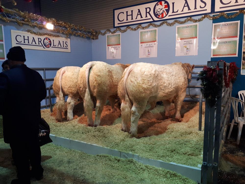 Charolais cattle - WWF.jpg
