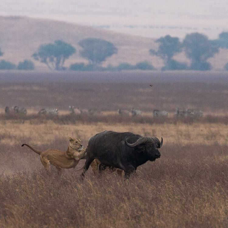 Lions don't have a very high success rate when it comes to hunting. We saw 4 prides of lions fail to capture their prey, and here is an image of 2 lions failing to take down a Cape buffalo. It literally scared the crap out of the buffalo afterwards.    #keepitwild #bigcatsplayball    (at Ngorongoro Crater, Tanzania)
