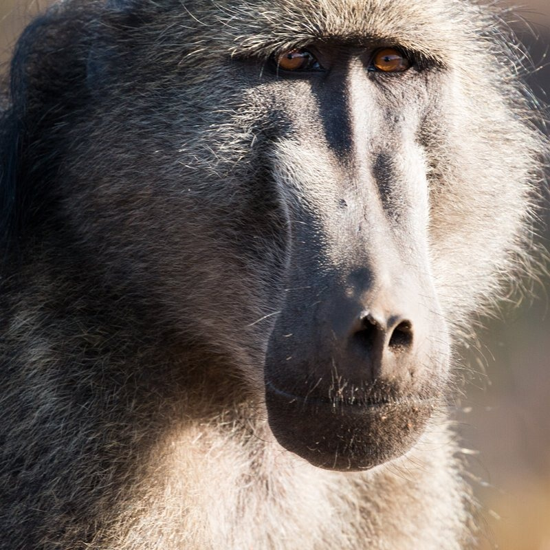 Baboon portrait, Kruger National Park, South Africa  #keepitwild #bigcatsplayball #makeportraits  (at South Africa)