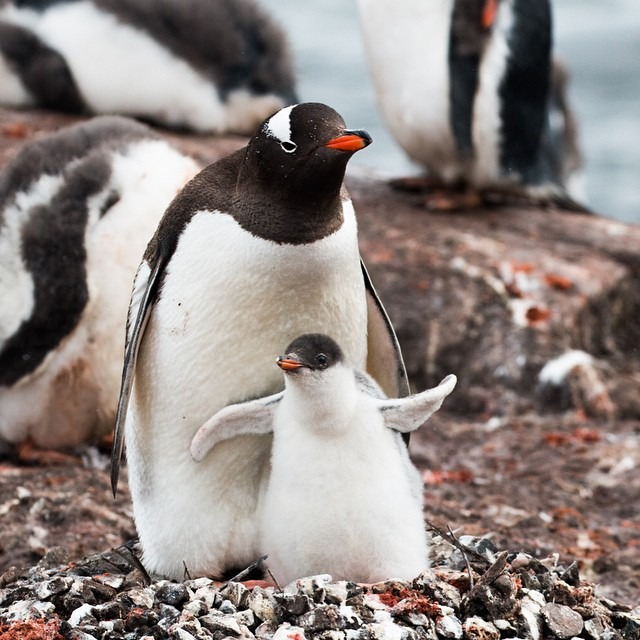 A gentoo penguin mother and chick at the Penguin Post Office in Port Lockroy. Unfortunately, this chick will most likely not survive since it got such a late start and winter is fast approaching. #antarcticaordie (at Antarctica)