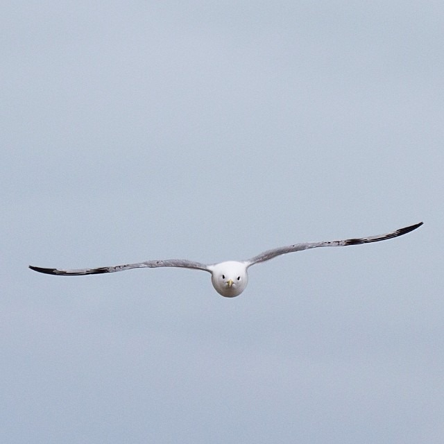 This Arctic Life   A kittiwake coming straight for me at Kongsbreen glacier #thisarcticlife (at Svalbard)