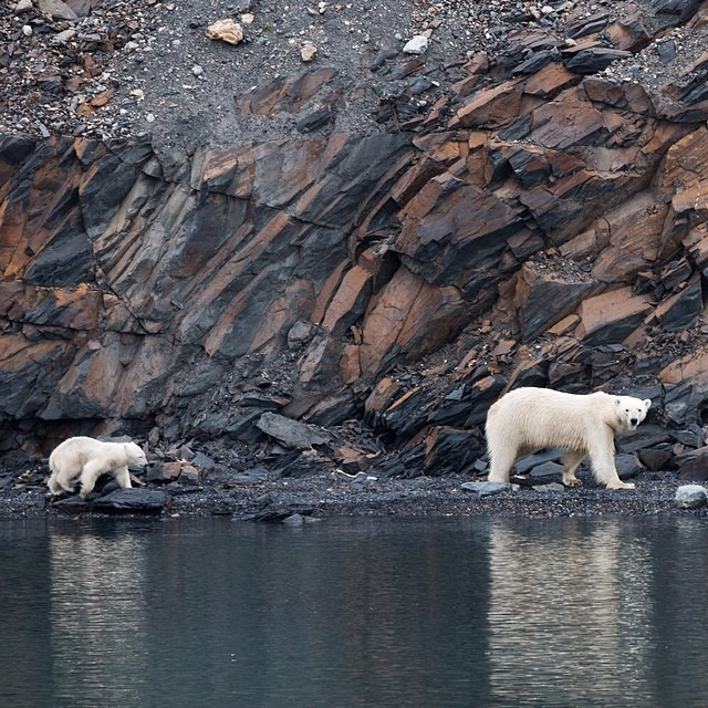 I will never forget my first polar bear sighting in Hornsund. It was really special and we had the chance to observe this mother and cub for over an hour. Polar bears are only found in the Arctic and can weigh up to 1,700 pounds. The larger bear pictured here was estimated to weigh about 600 pounds. Whenever we land or go out on Zodiacs we must carry firearms for self defense #thisarcticlife #polarbears (at Svalbard)