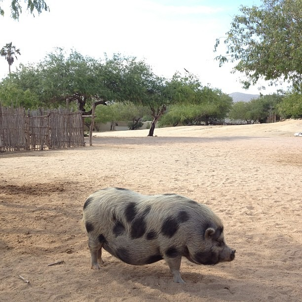 Spotted pig. #mexico #latergram #nofilter (at Mexico)