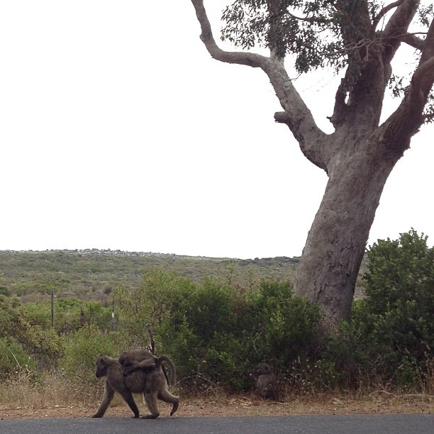 Wild baboons, roadside (at Taste South Africa)