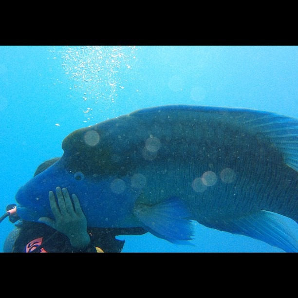 I hugged this big ole Maori Wrasse