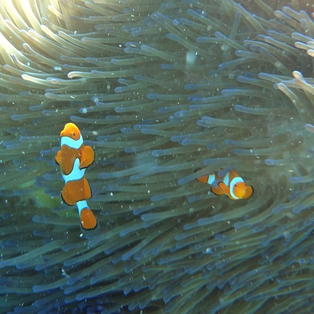 I found the real Nemo #partingshot (at Great Barrier Reef)