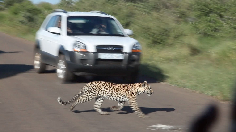 This is one of my most memorable travel moments of all time. My South African friend, Garth,   had been visiting Kruger for over 14 years and had never seen a leopard there until this moment. We saw not one, but two leopards (mom and cub) crossing the road in front of our vehicle.