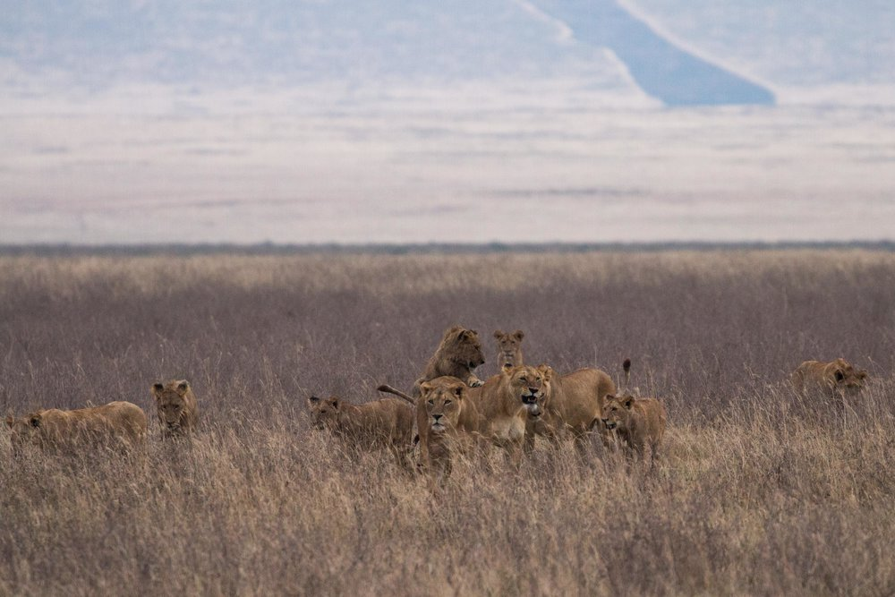 We are the reckless, We are the wild youth    #thisisafrica #bigcatsplayball    (at Ngorongoro Crater, Tanzania)