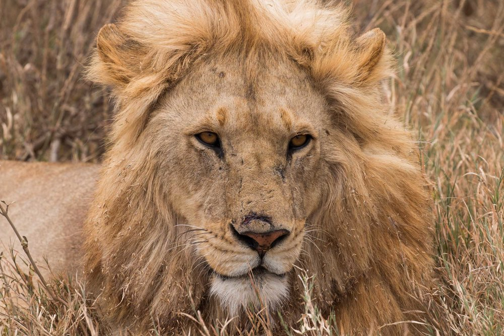 Our first up close and personal lion encounter in the Serengeti.     We easily saw over 100 big cats in the Serengeti.     #stayfierce #bigcatsplayball     (at Serengeti National Park, Tanzania)
