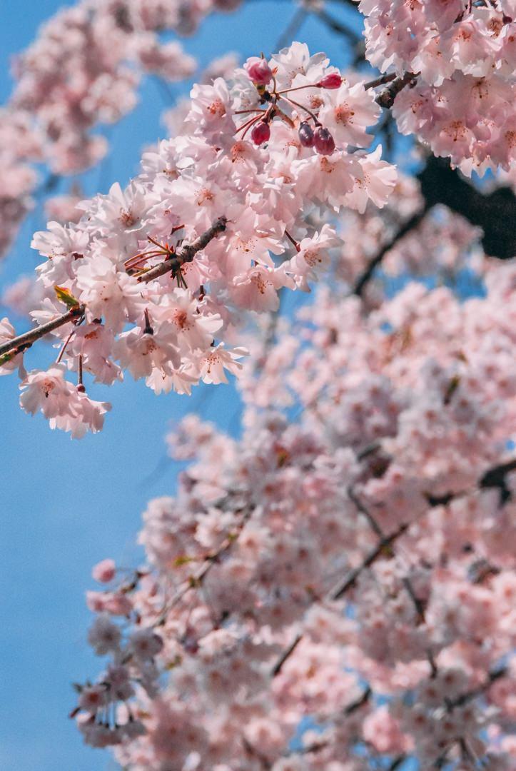 quand partir au japon asie printemps cerisiers nagoya hana blog voyage photographie