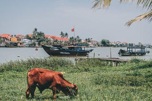 hoi an vietnam vache lanternes asie blog voyage photographie