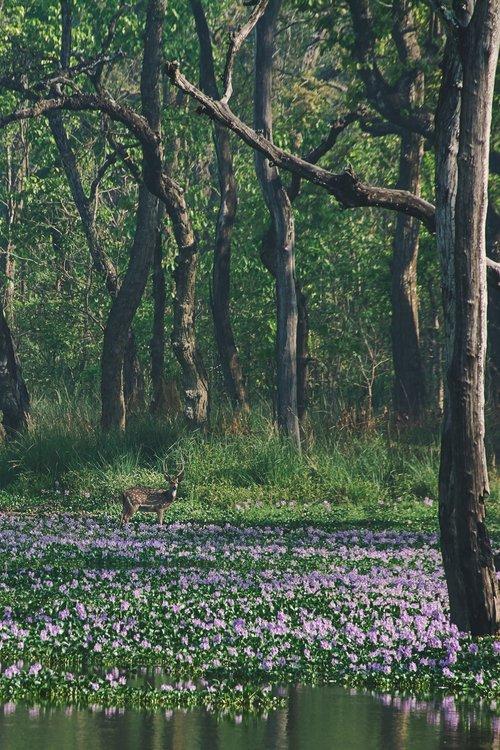visiter nepal parc national chitwan nepal safari cerf