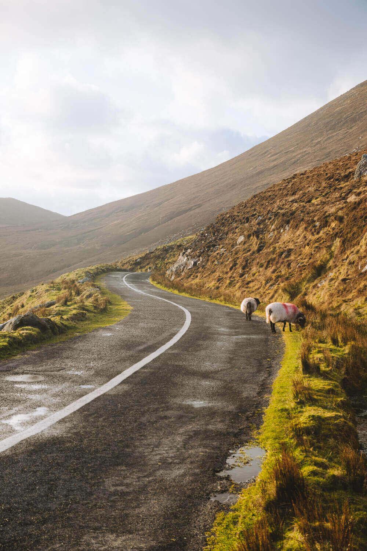road trip irlande moutons