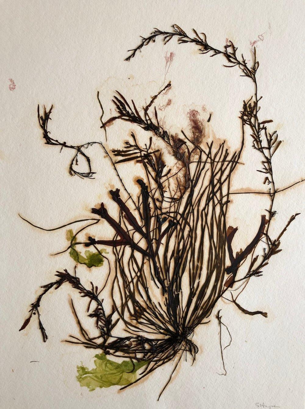 Seaweed 13/13, 11x14