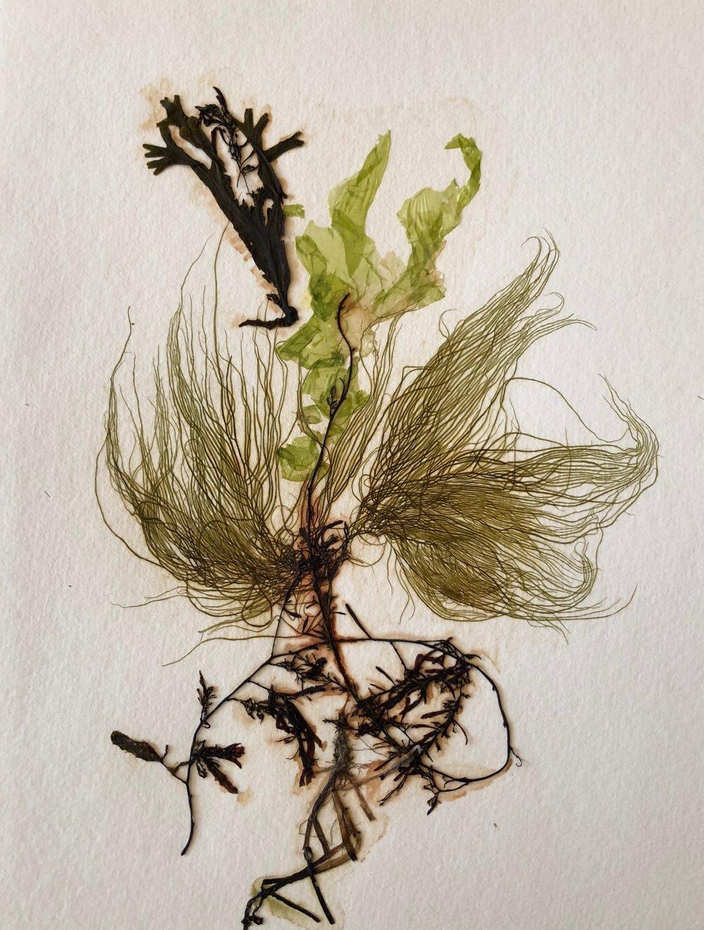 Seaweed 6/13, 11x14