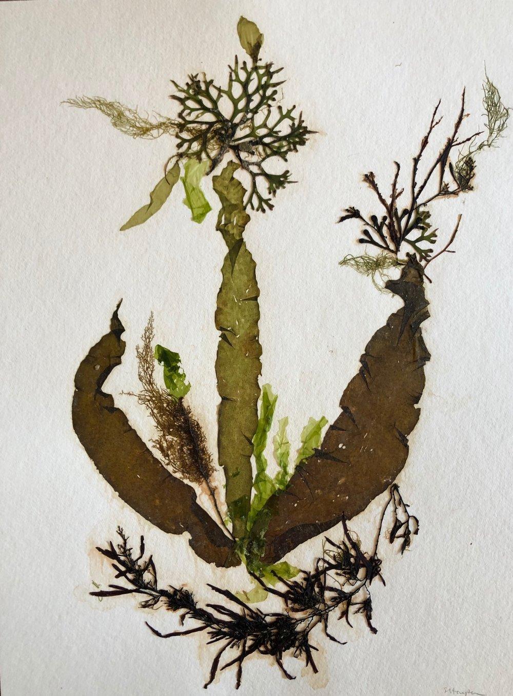 Seaweed 5/13, 11x14