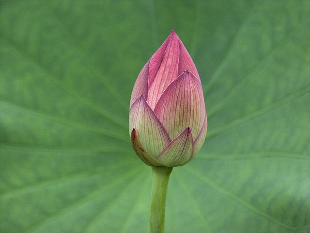 lotus-bud-585943_640.jpg