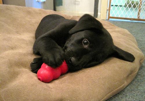 KONG-puppy.jpg