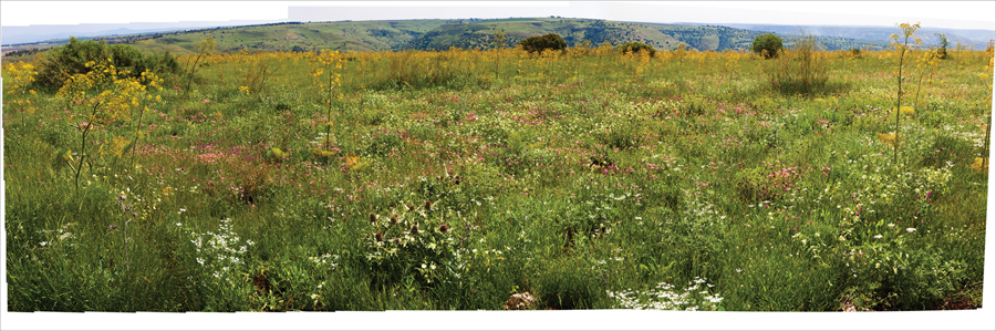 "Bill Aron  Wildflowers in the Galil  Archival inkjet print on Epson Ultra Smooth Fine Art paper, 3/18 12 x 36"" AB25"