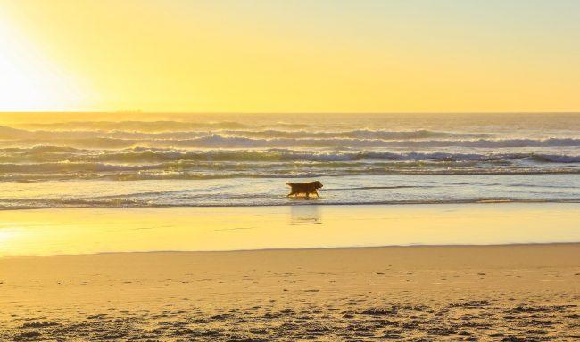 bigs-Golden-Retriever-walking-at-Huntington-Dog-Beach-at-sunset-E1-Large-650x384.jpg
