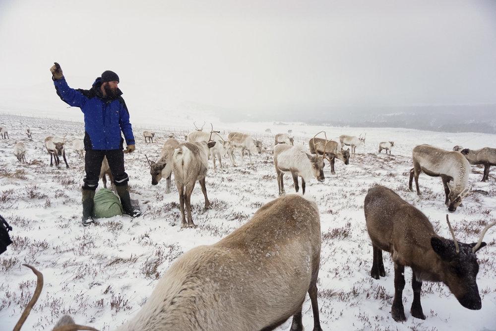 cairngorm-reindeer.jpg
