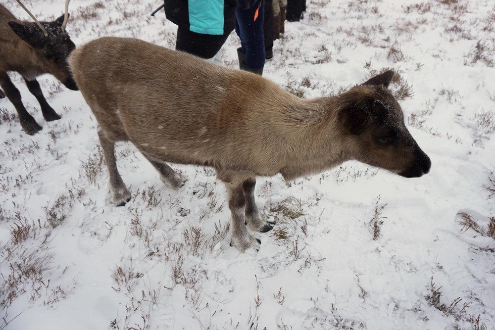 baby-reindeer.jpg