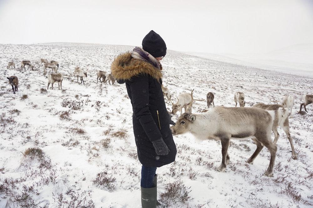 reindeer-scotland.jpg
