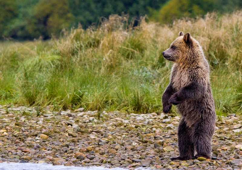 Telegraph Cove Grizzly Cubs.jpg