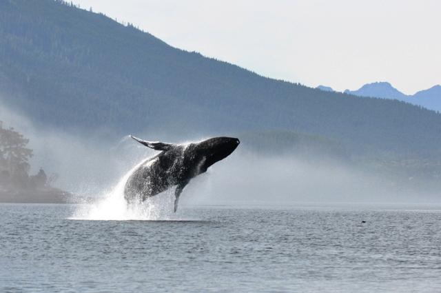 Telegraph Cove orca-close.jpg