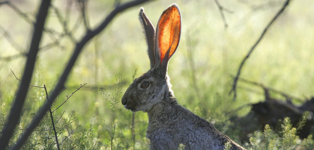 jackrabbit-673965-copy.jpg