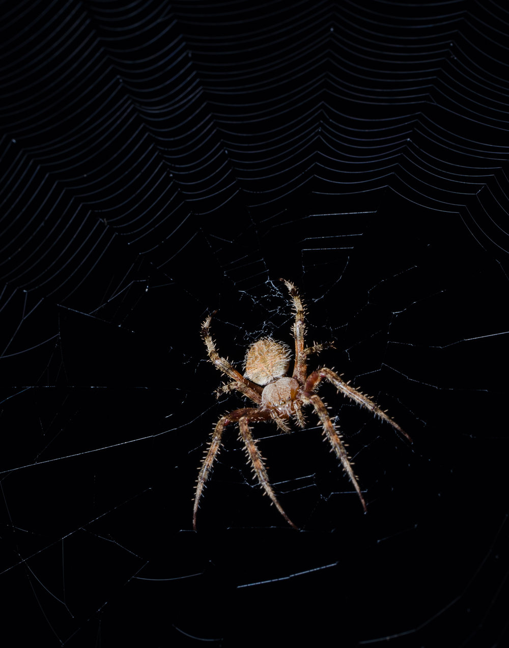 Spider getting ready for dinner