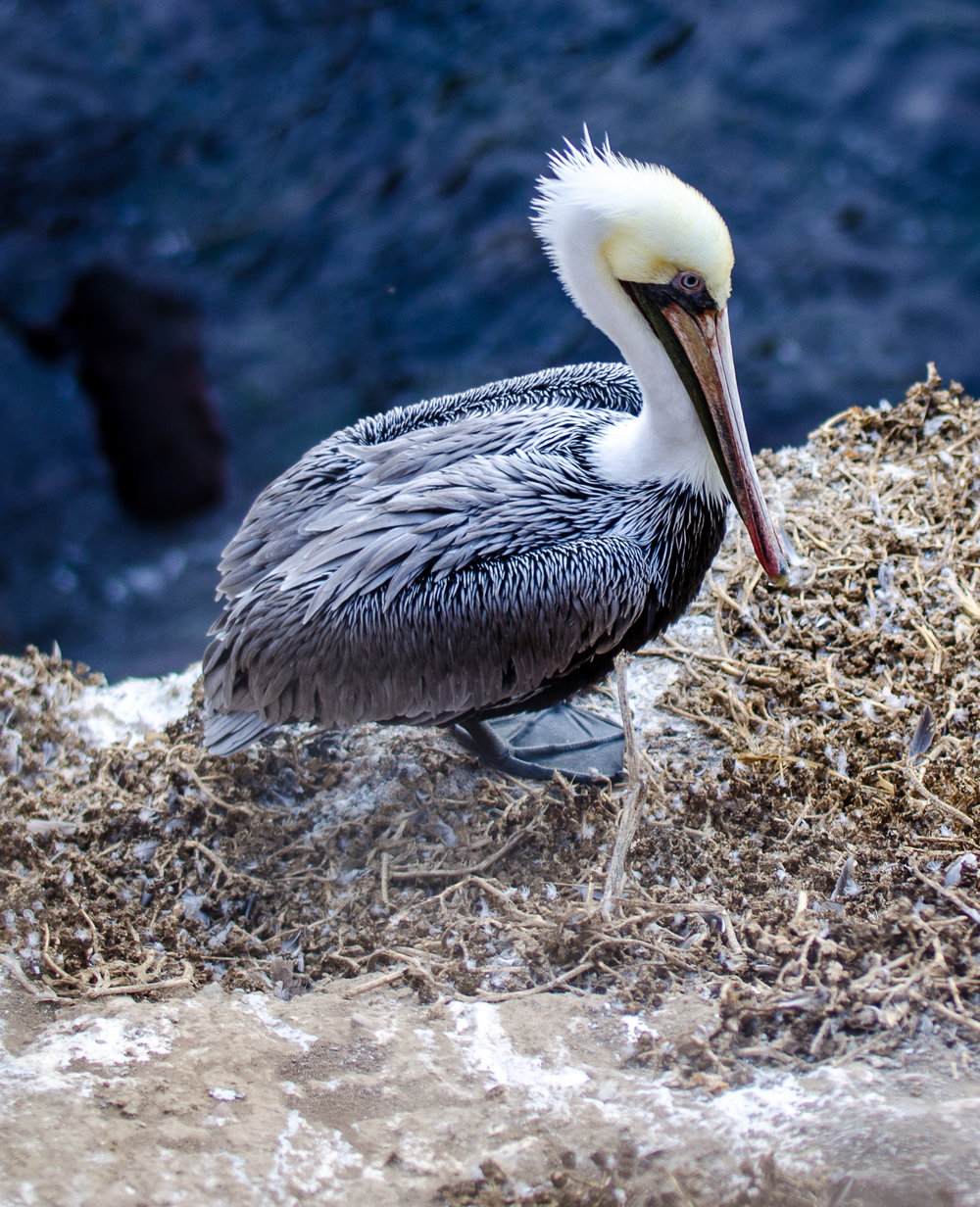 La Jolla Cove Birding