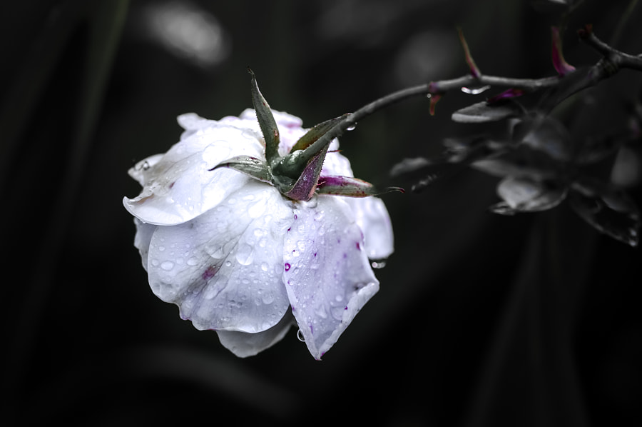 Droplette's behind the flower