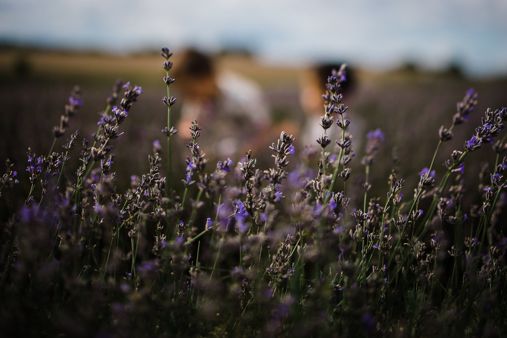 Dreamy childhood in the lavender - Cambridge family photographer