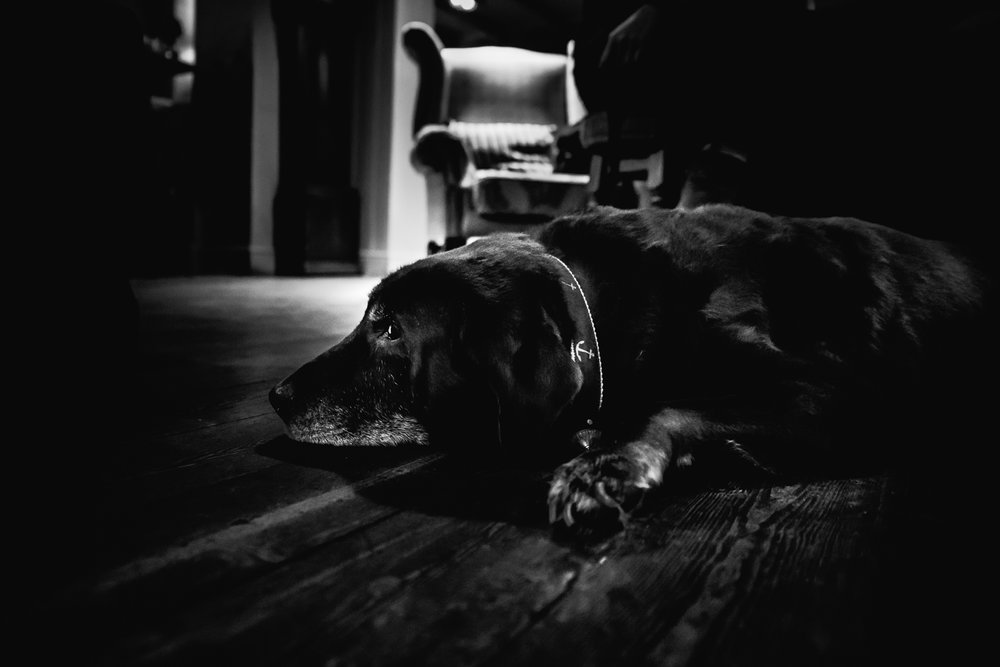 Black and white portrait chocolate labrador