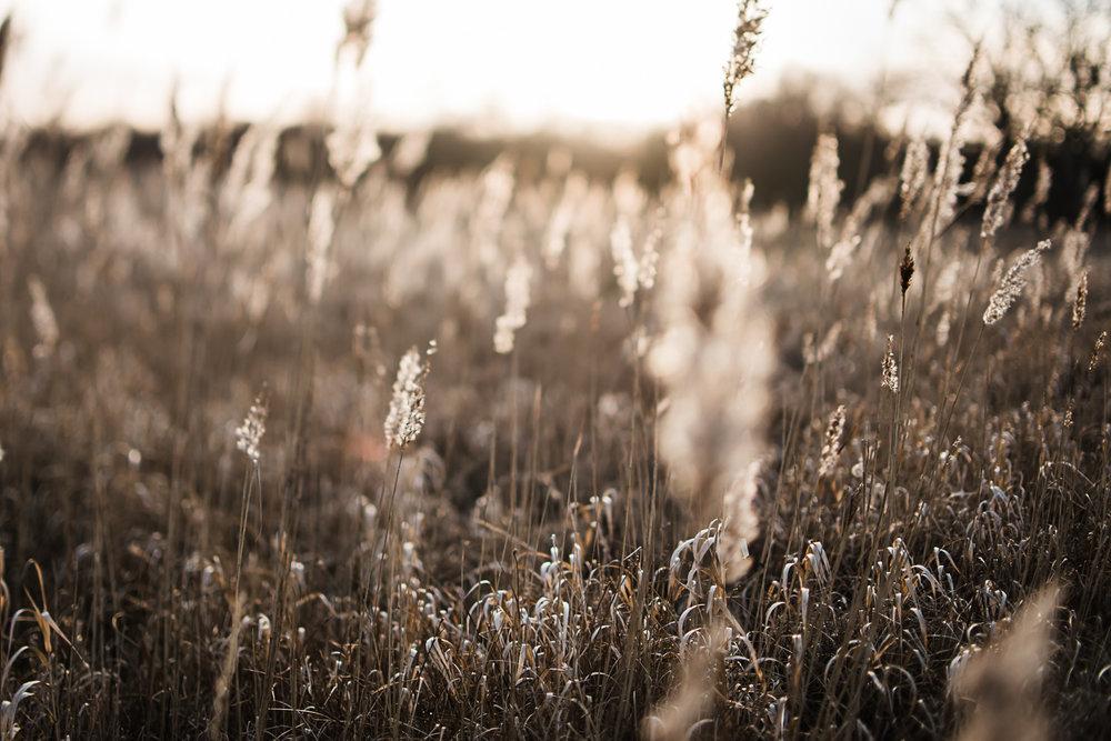 Pampas grass in golden light