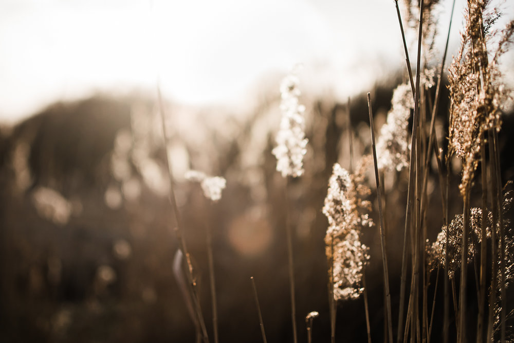 Pampas grass in the sunlight