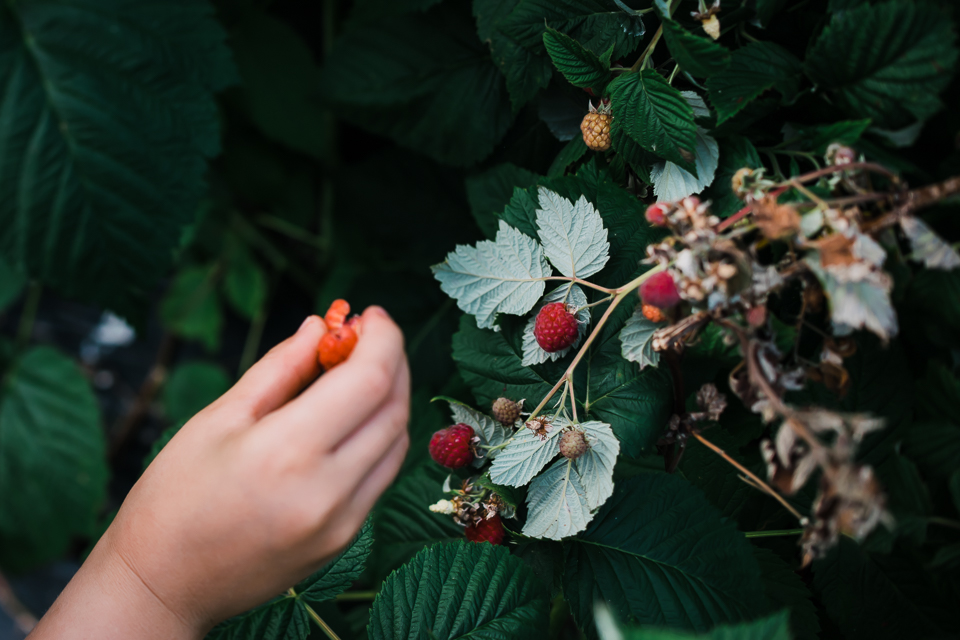 Child picking a red raspberry from the bush