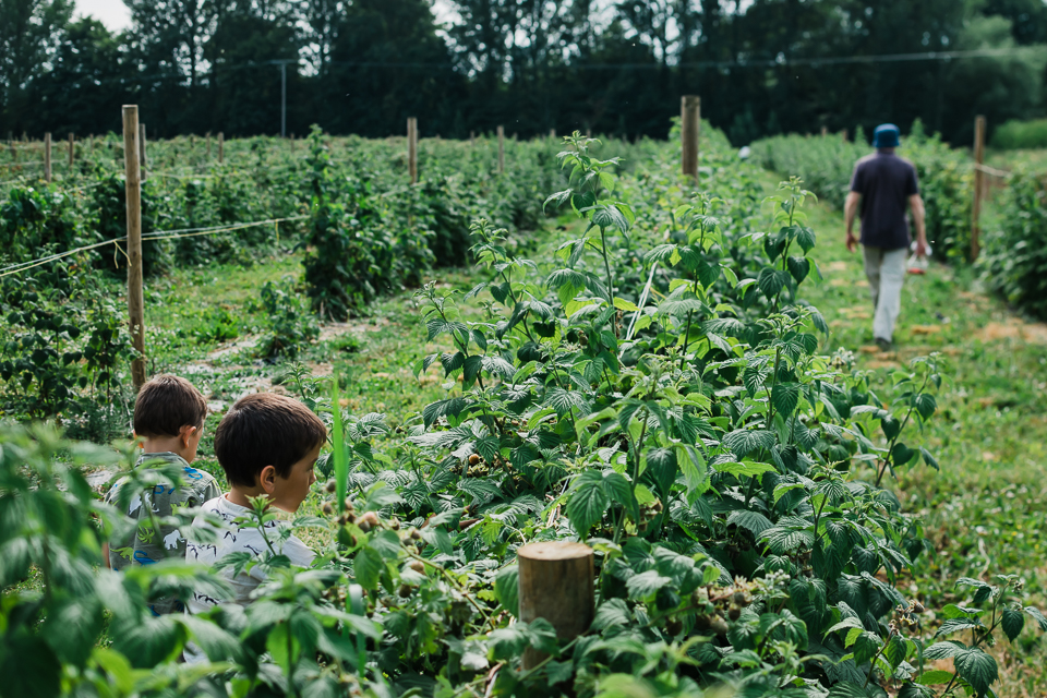 In the rows of raspberry field at the pick-your-own farm