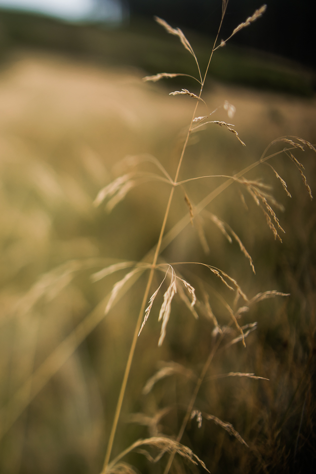 Tall grass in macro