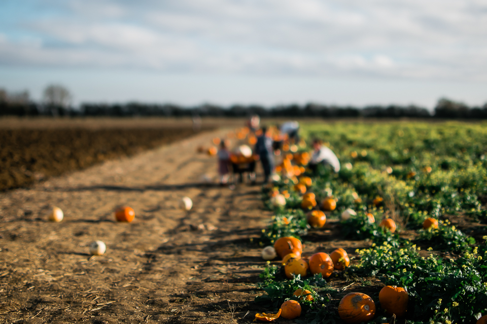 pumpkins lined up by the pumpkin field