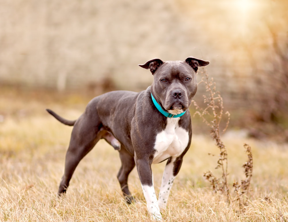 Pit bull- rescue dog