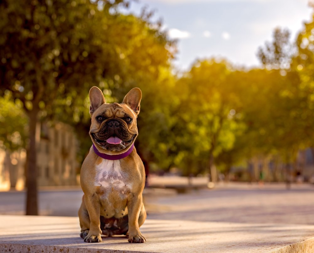 French Bulldog- France-dog photography