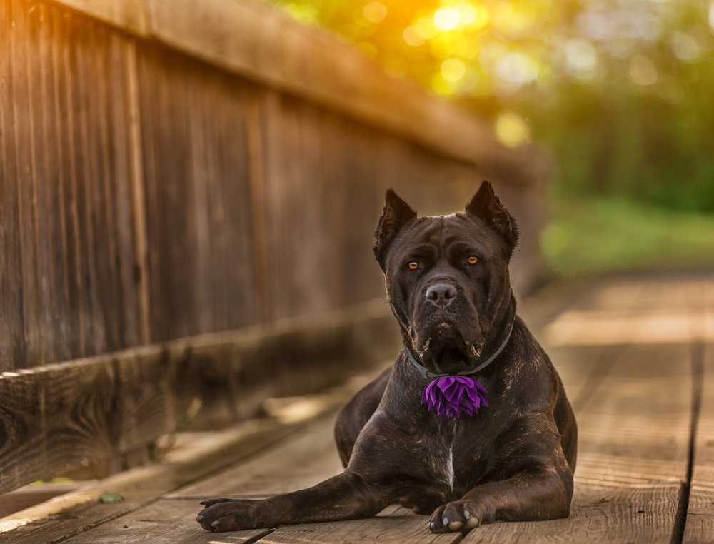Cane Corso photo- sun