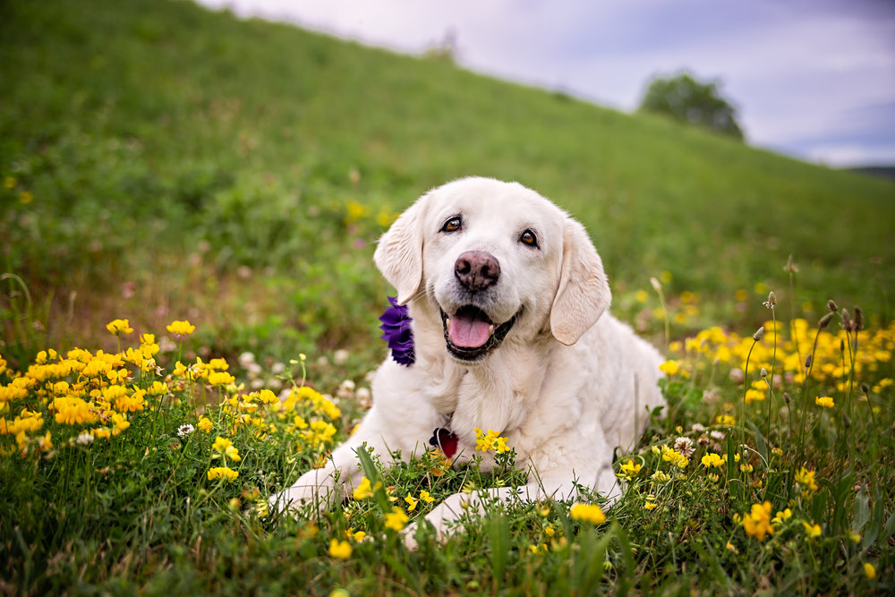 Labrador mix- flowers- happy