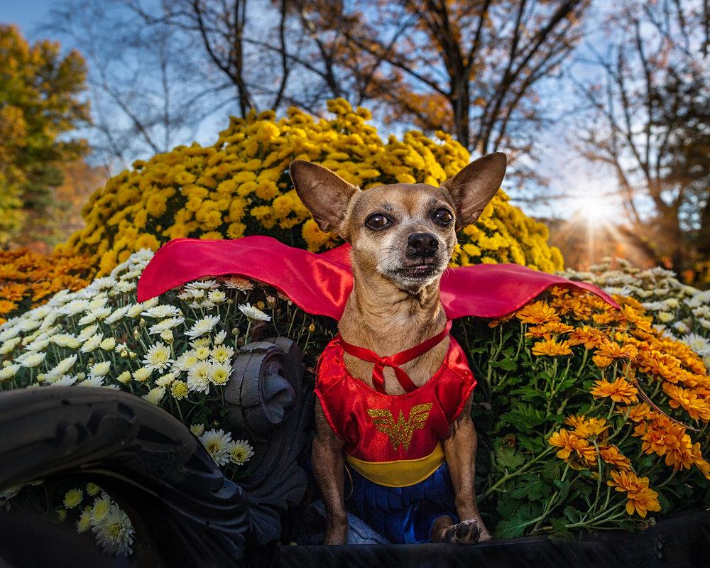 Hero dog- superhero- dog photo- chihuahua mix