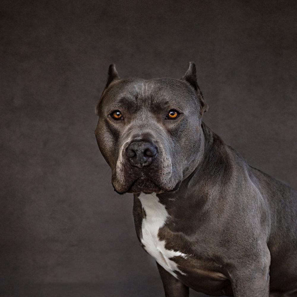Pit bull dog photo- gorgeous- studio shot